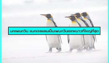 นกเพนกวิน แมกเจลแลนเป็นเพนกวินเขตหนาวที่ใหญ่ที่สุด